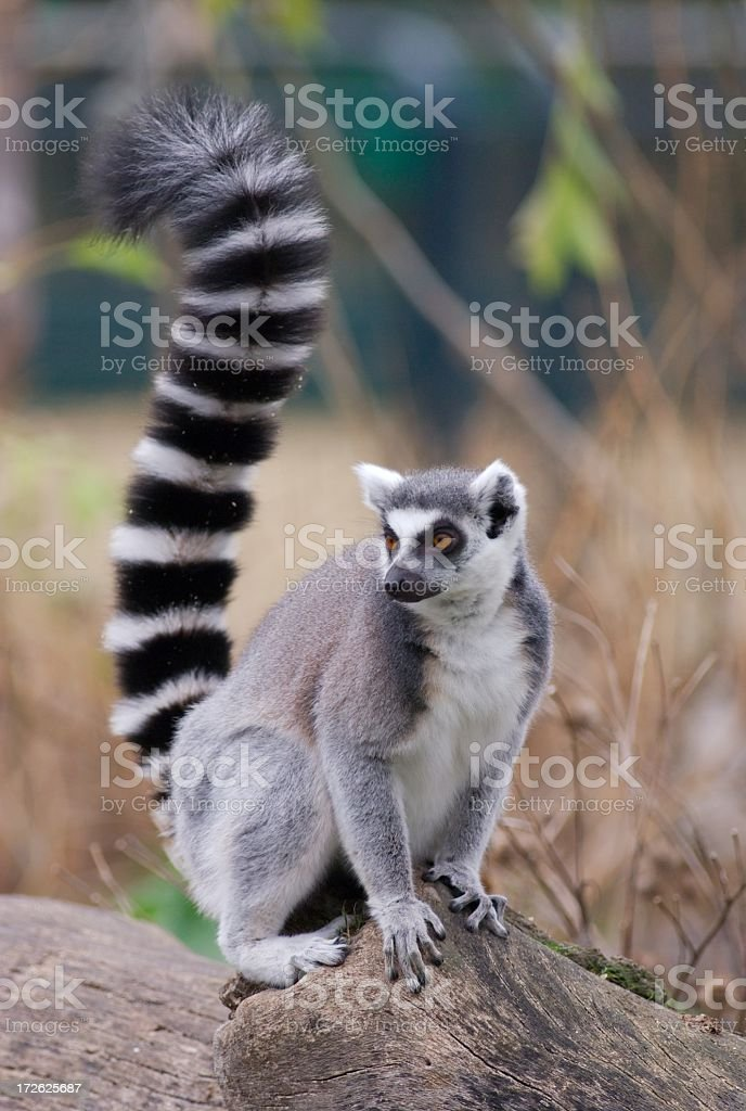 Furry lemur perched on rock looking into the distance stock photo