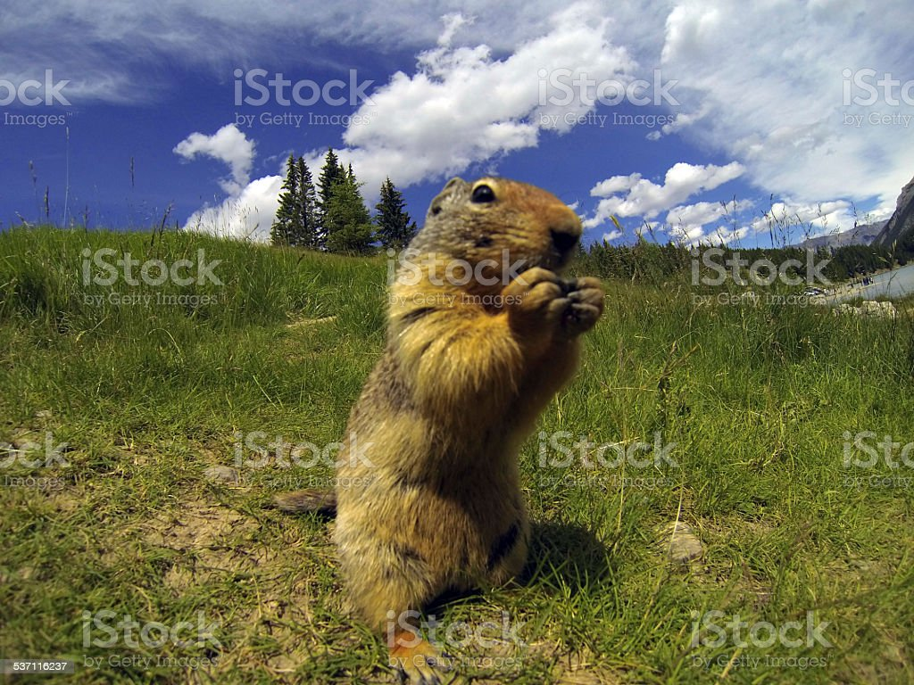 Furry Marmot stock photo