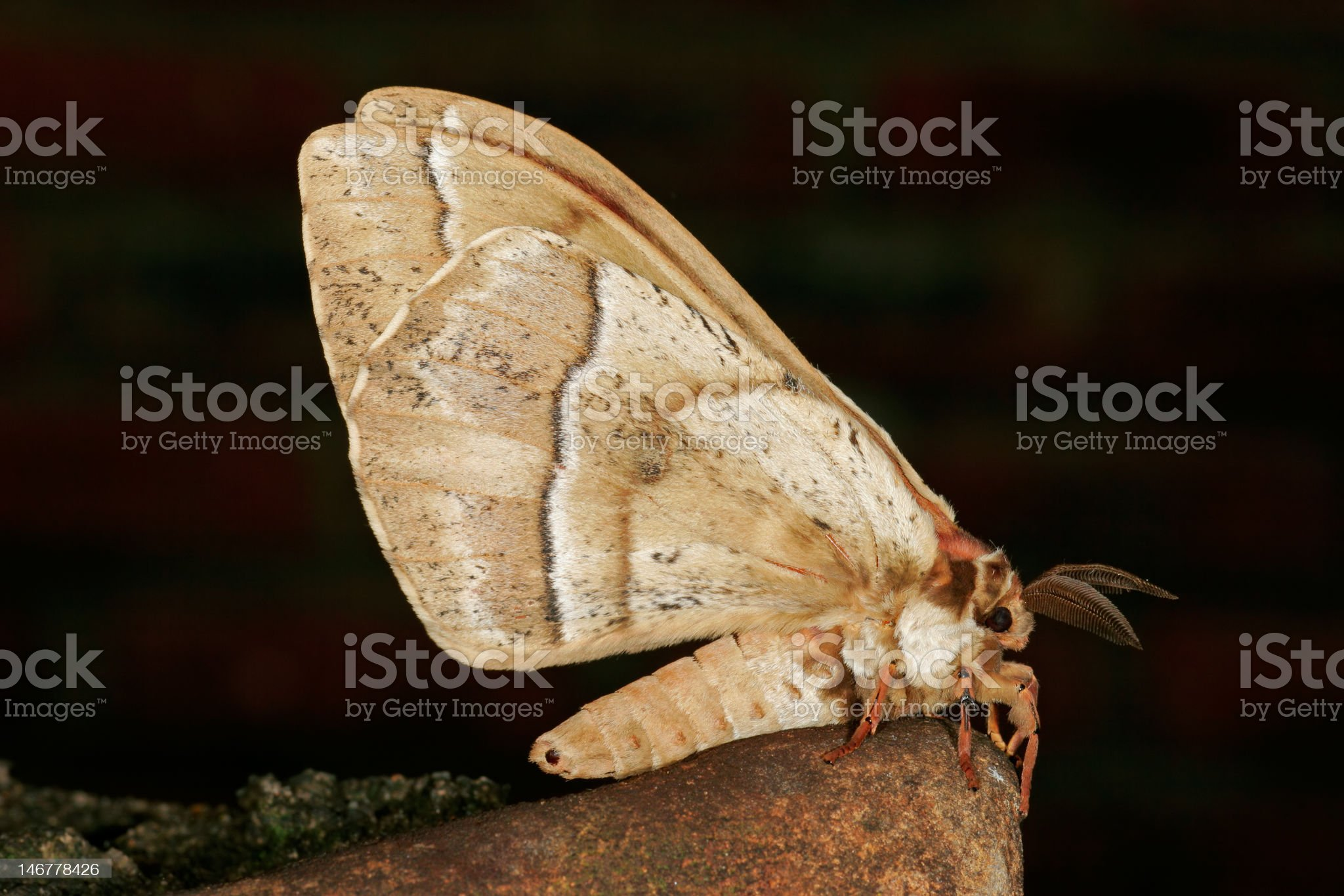 Furry moth royalty-free stock photo