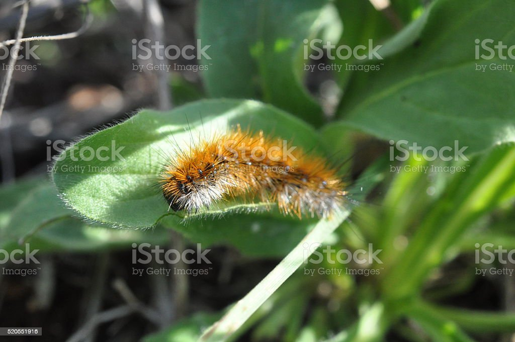 Furry Orange Caterpillar in the Greenery stock photo