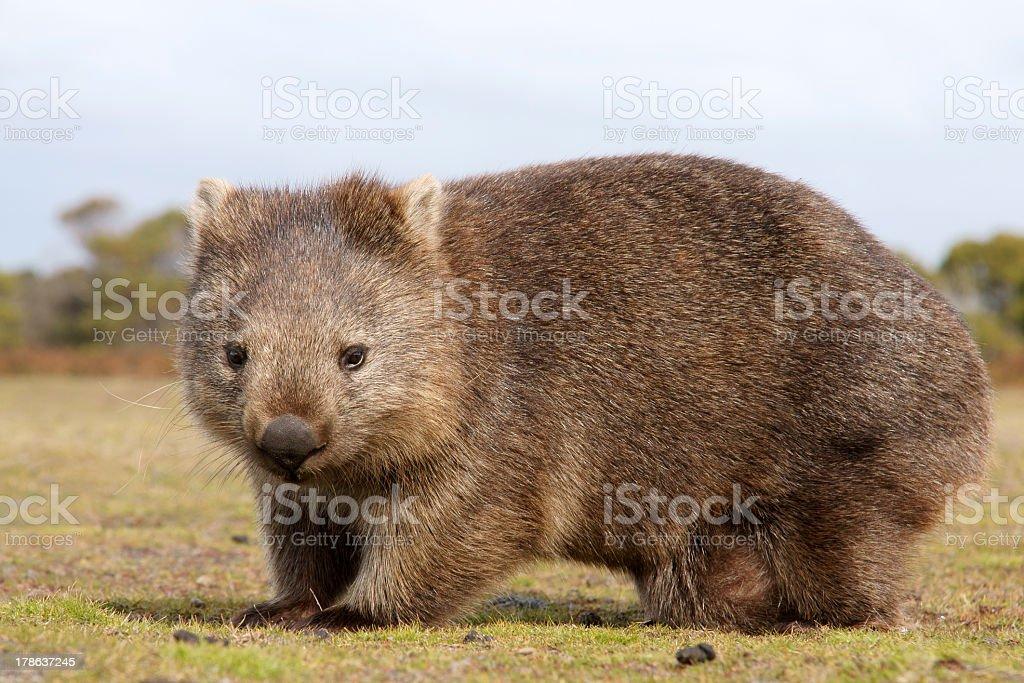 A furry wombat close-up outdoors stock photo