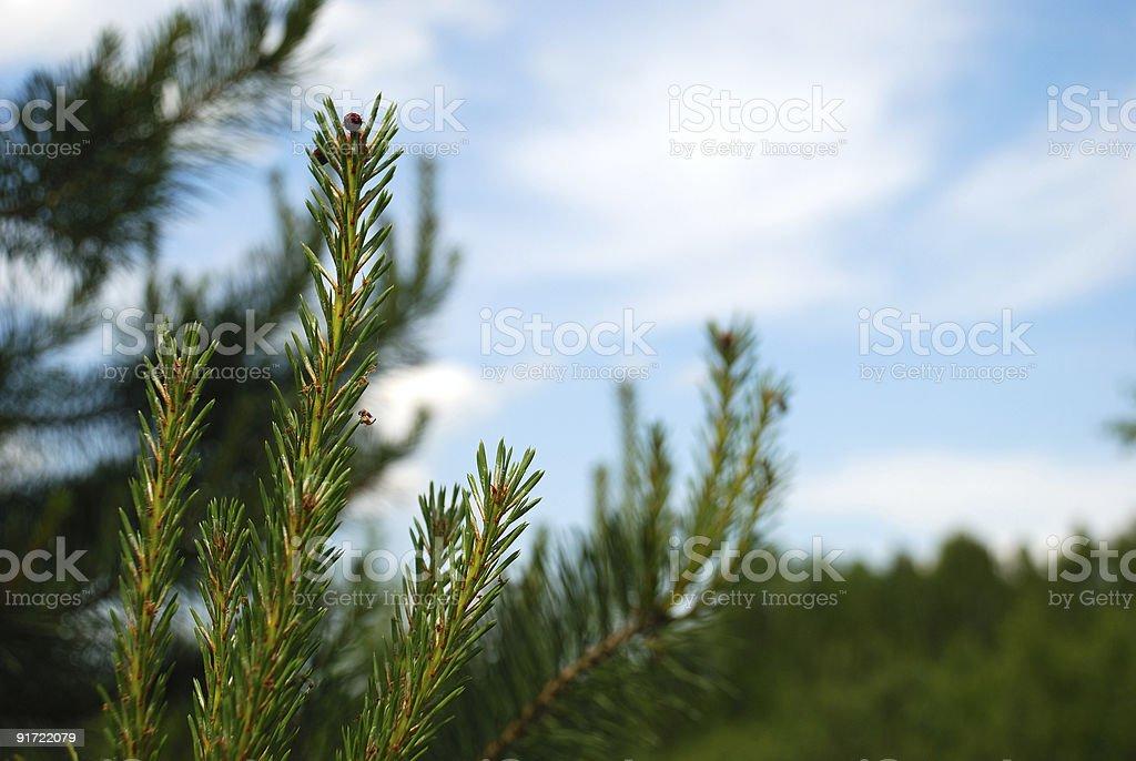 Fur-tree branch royalty-free stock photo