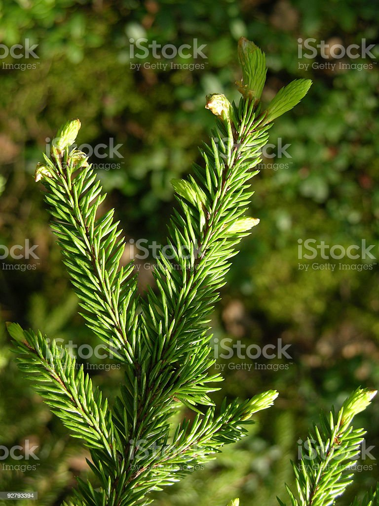 Fur-tree branch stock photo