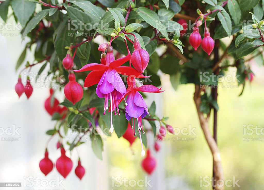 Fuschia Blossom royalty-free stock photo