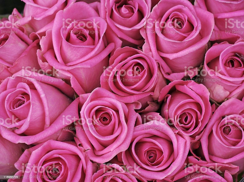 Fuschia colored roses royalty-free stock photo