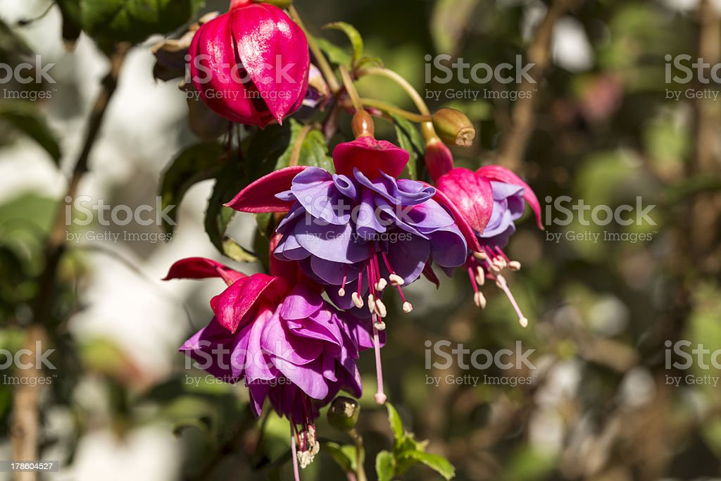 Fuschia flowers royalty-free stock photo