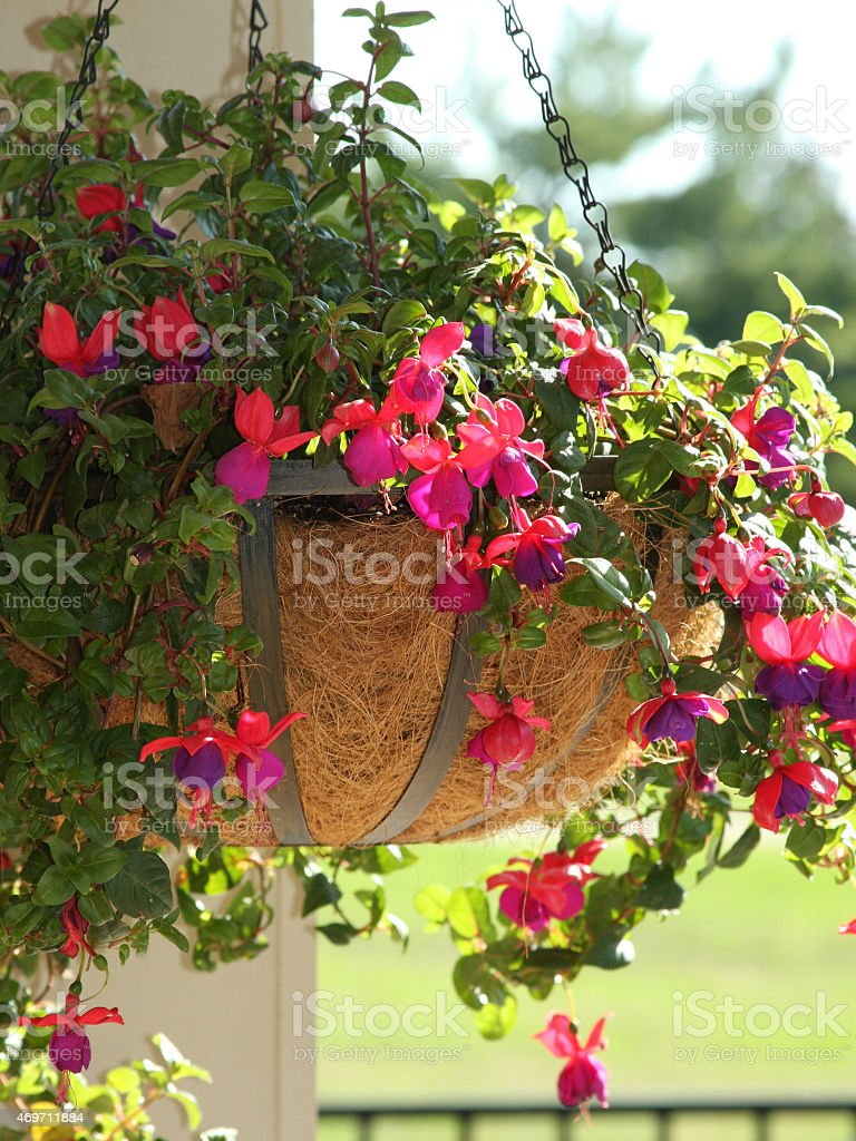 Fuschia Hanging Basket on Post near diffused fence stock photo
