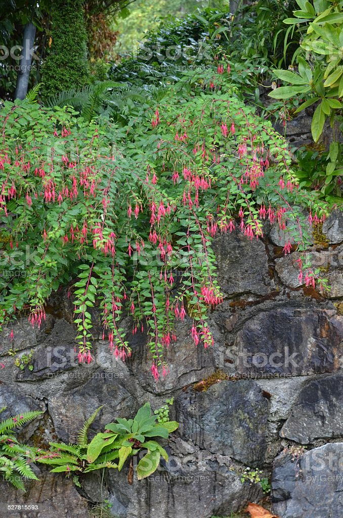 Fushia Flowers stock photo