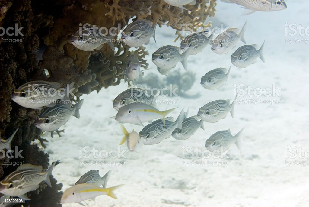 Fusilier fish school stock photo