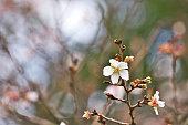 fuyuzakura cherry