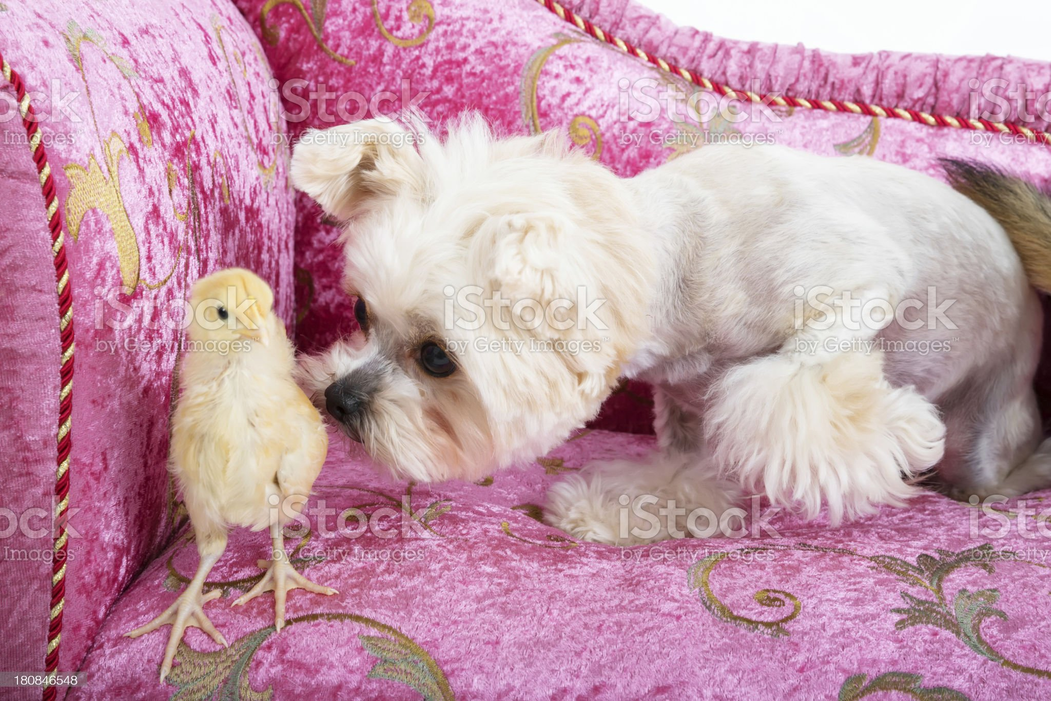 Fuzzy dog, fuzzy chick and fuzzy couch are a great team! royalty-free stock photo