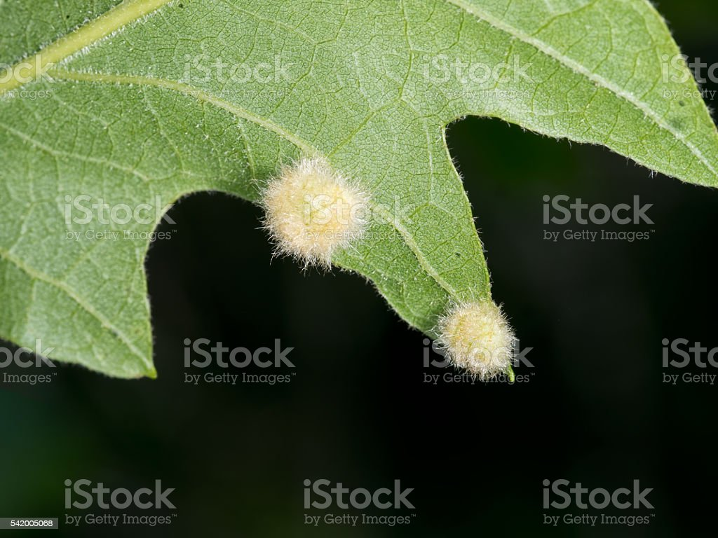 Fuzzy gall on oak leaf stock photo