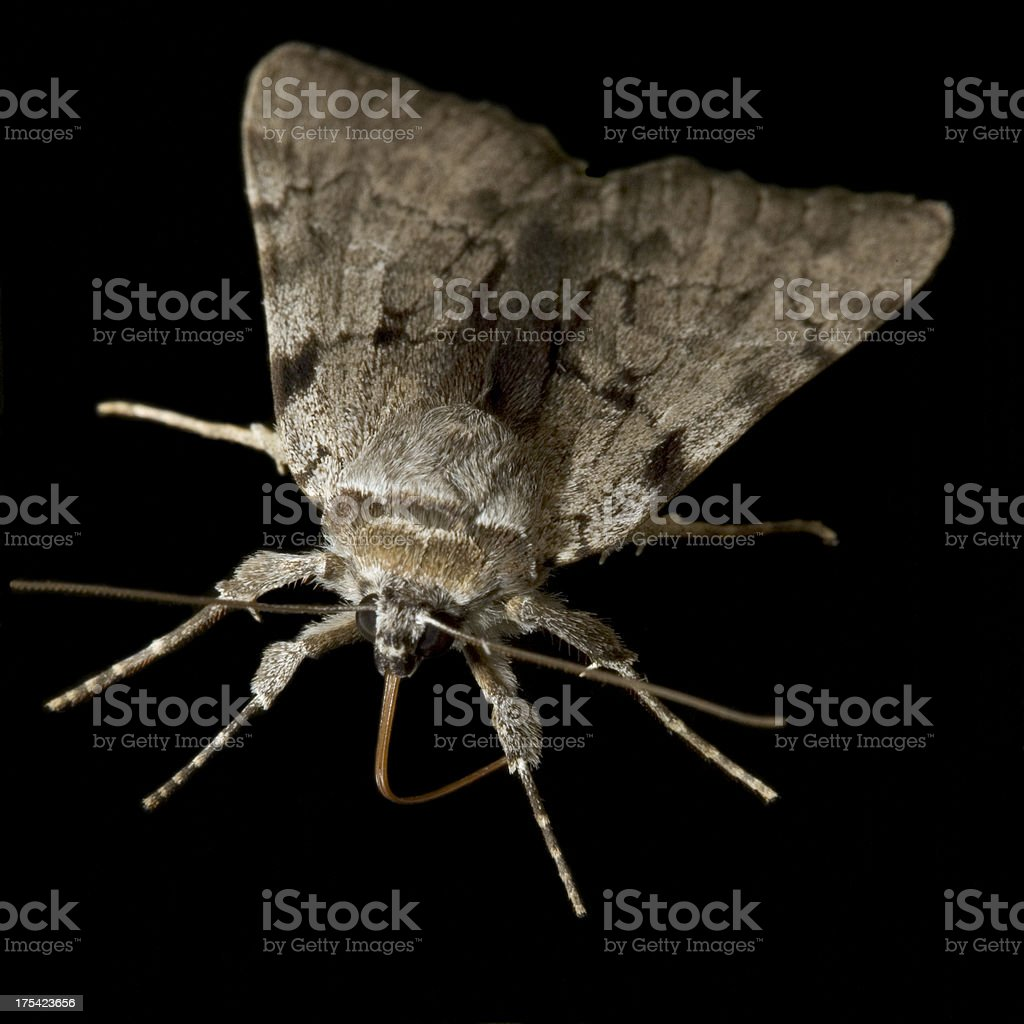 Fuzzy Moth royalty-free stock photo