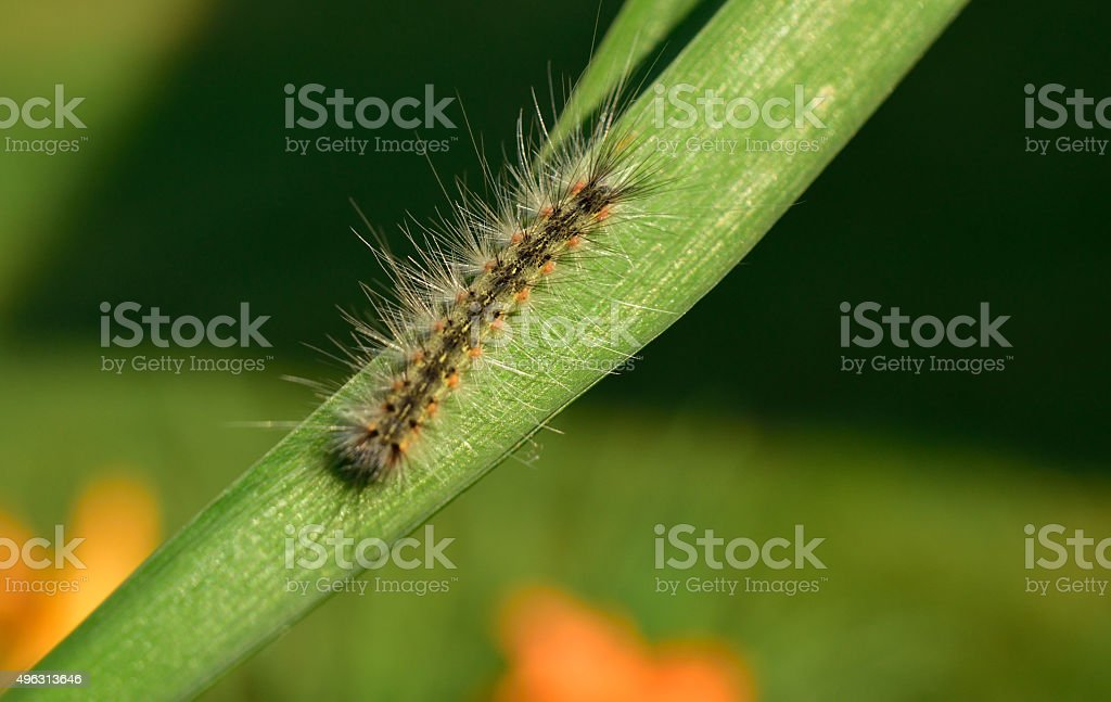 Fuzzy Tent Caterpillar stock photo