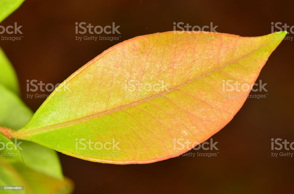 Fuzzy texture and color variation on single young leaf stock photo