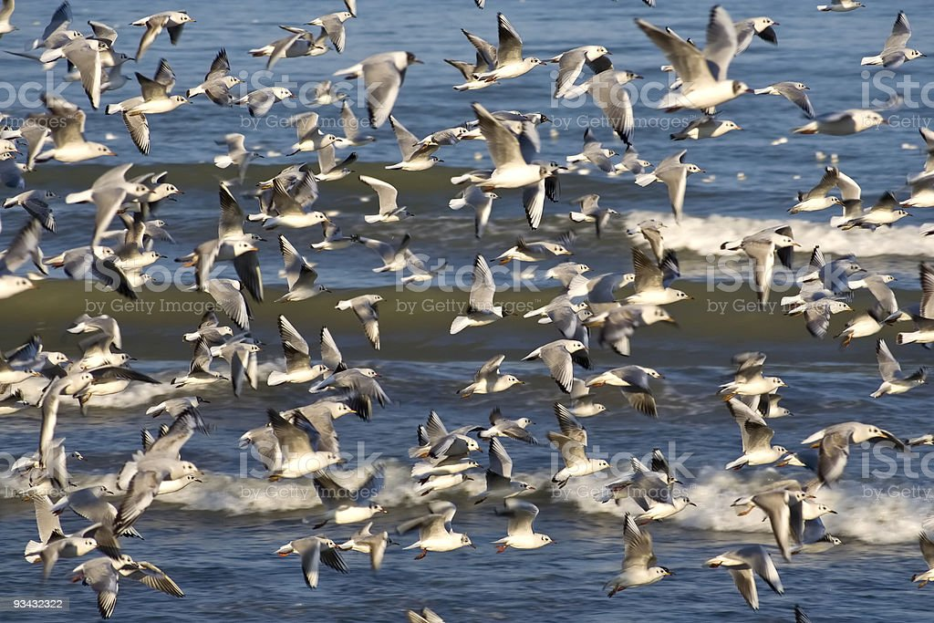 Gabbiani in volo - Seagulls royalty-free stock photo