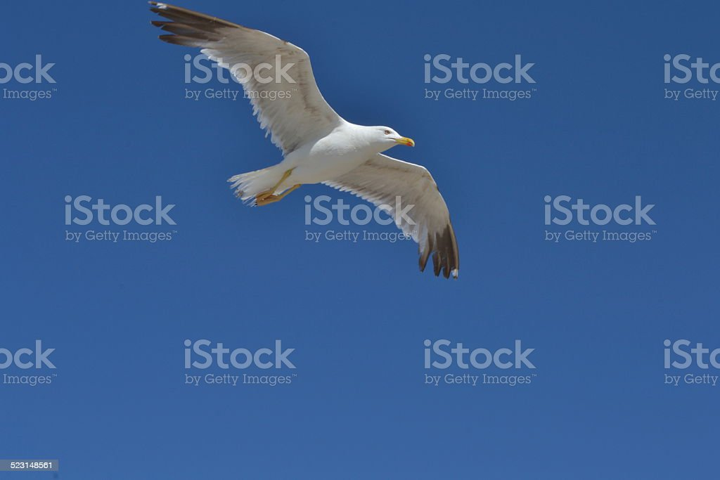 Gabbiano in volo stock photo
