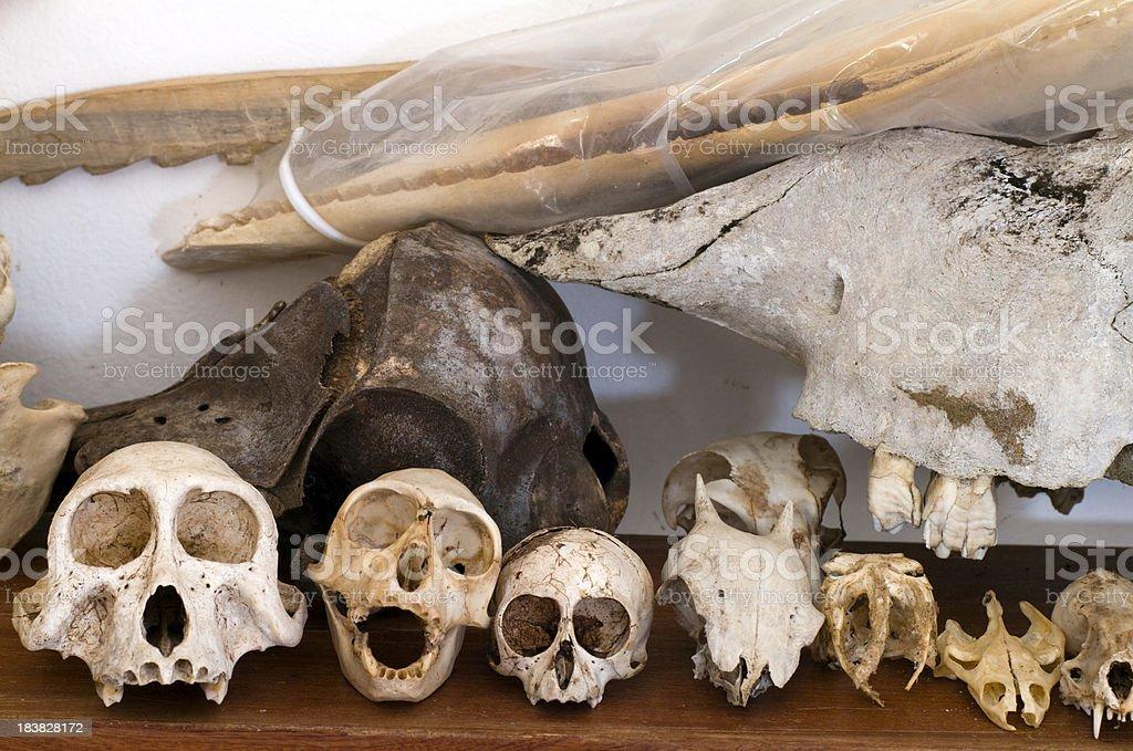 Gabon, Mayumba, animal bones from National Park. royalty-free stock photo