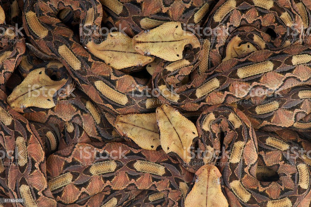 Gaboon vipers / Bitis gabonica gabonica stock photo