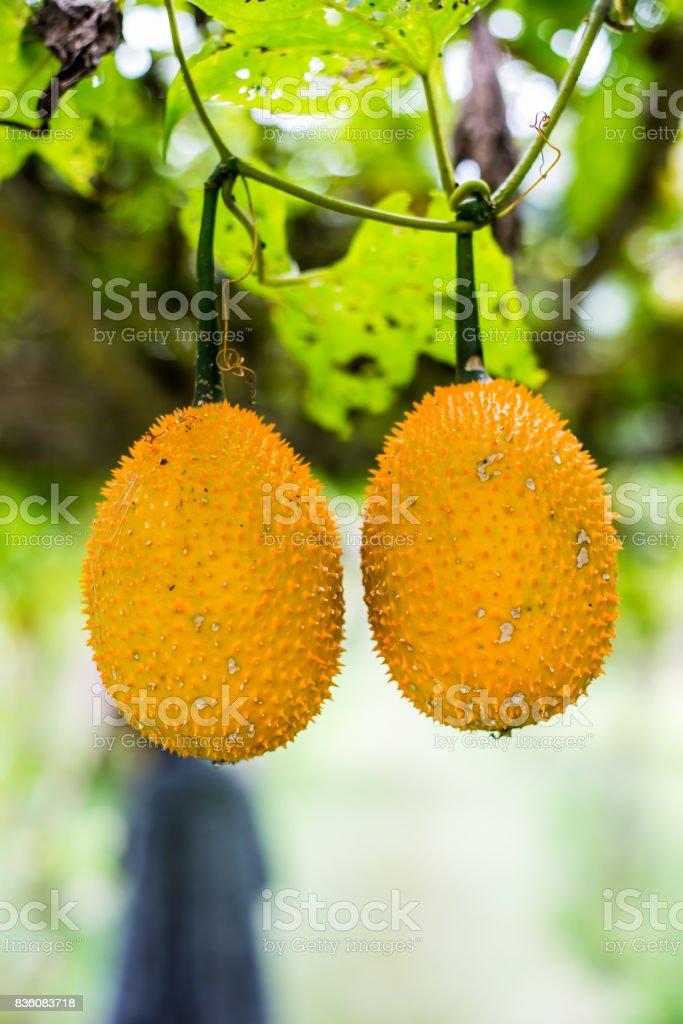 Gac fruit at field stock photo