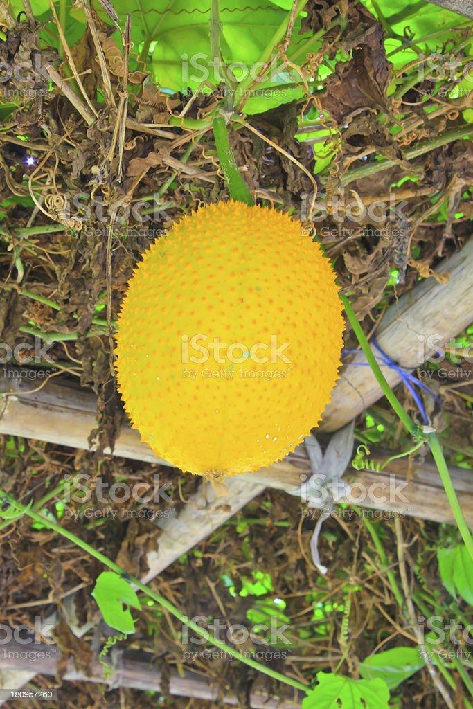 Gac fruit, Baby Jackfruit royalty-free stock photo