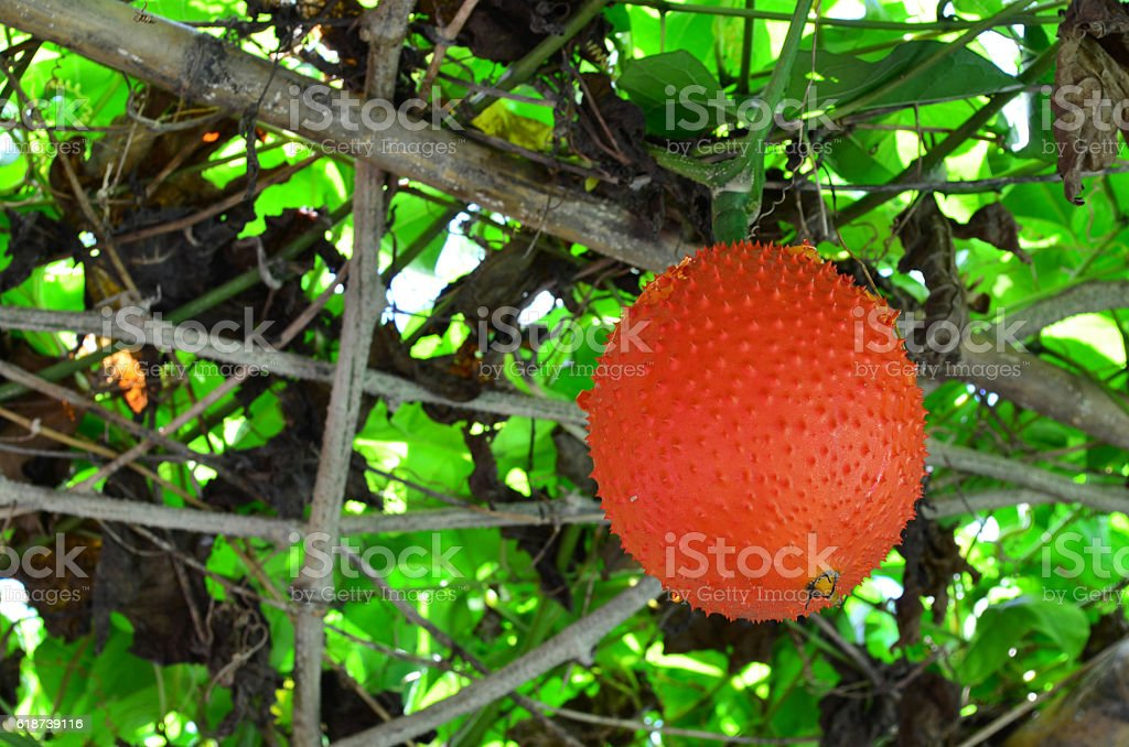 Gac fruit hanging on the tree stock photo