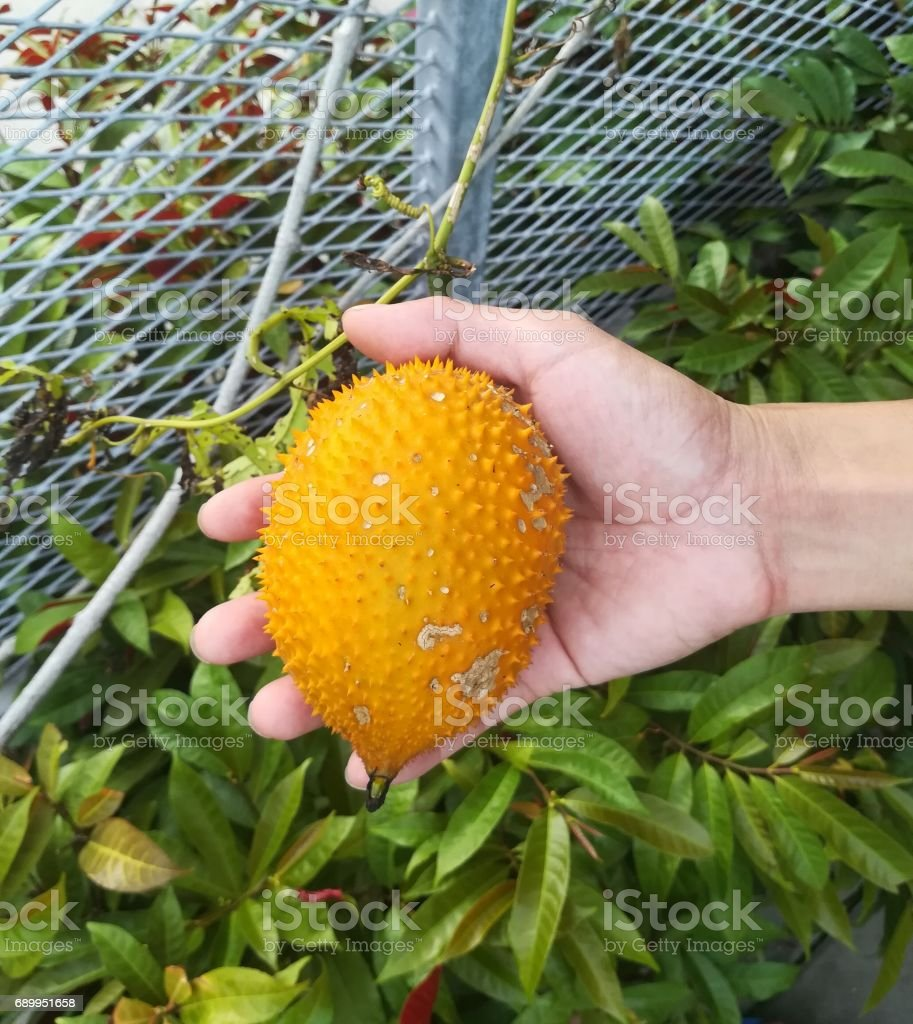 Gac fruit in human hand stock photo