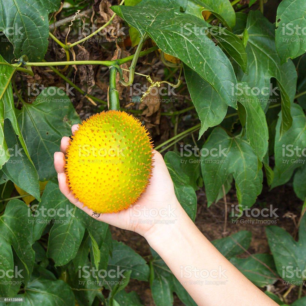 Gac fruit on hand. stock photo