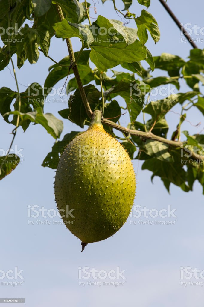 Gac fruit on tree close up stock photo