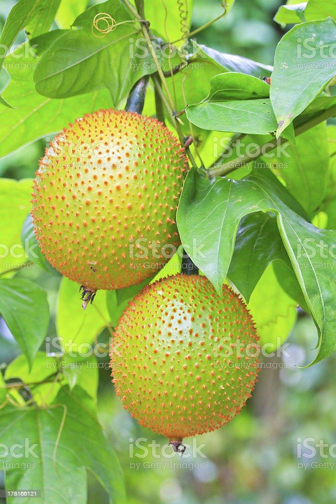 Gac fruit stock photo