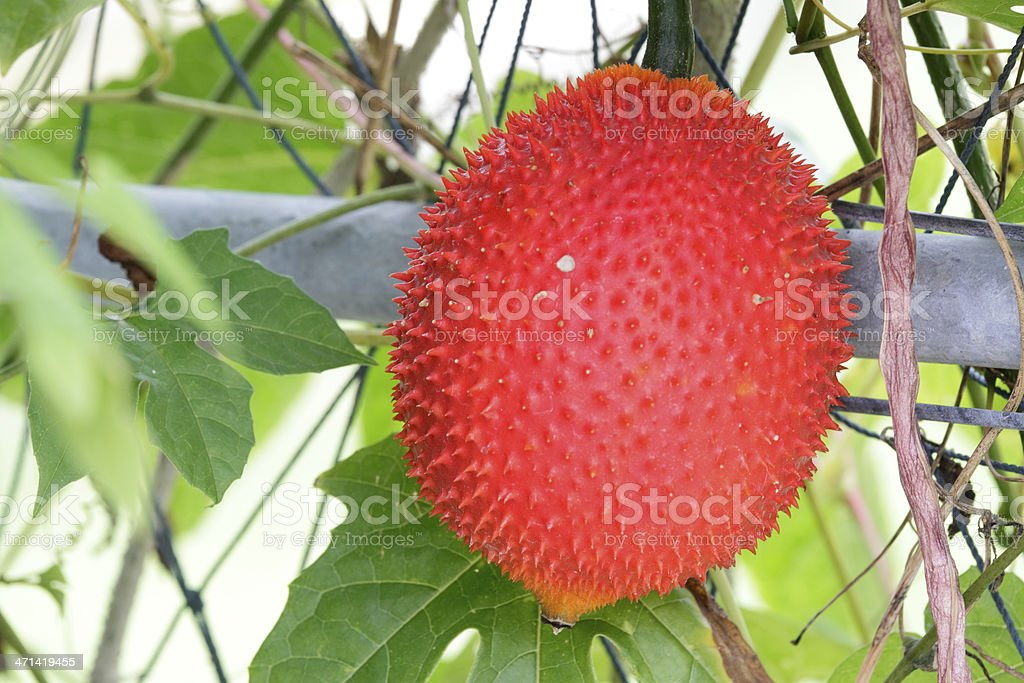 Gac fruit (Momordica cochinchinensis) stock photo