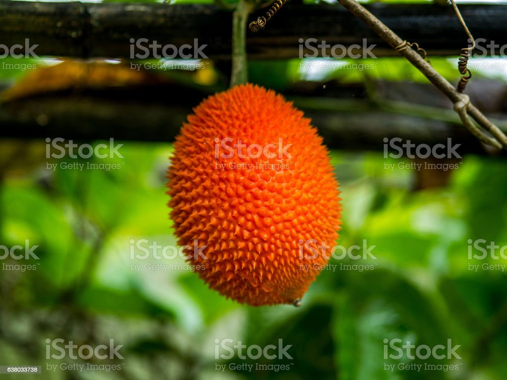 Gac,Baby Jackfruit, Cochinchin Gourd, Spiny Bitter Gourd, Sweet stock photo