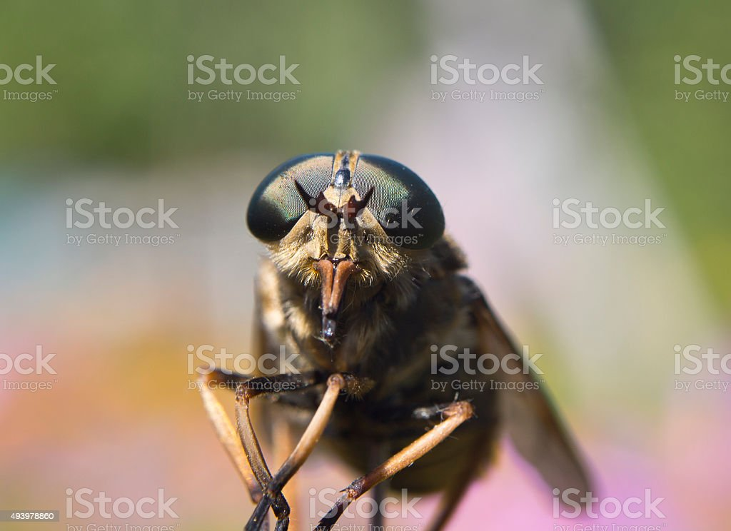 Gadfly - dangerous insect stock photo