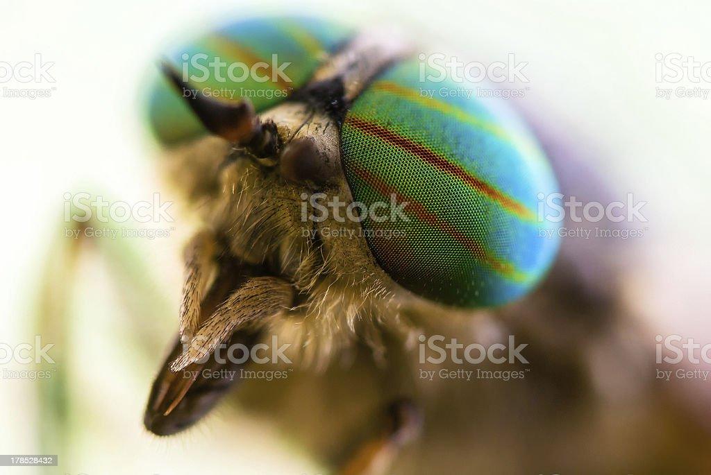 Gadfly eye close-up. stock photo
