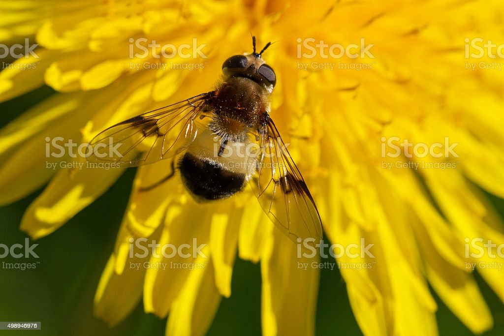 Gadfly on the flower. stock photo