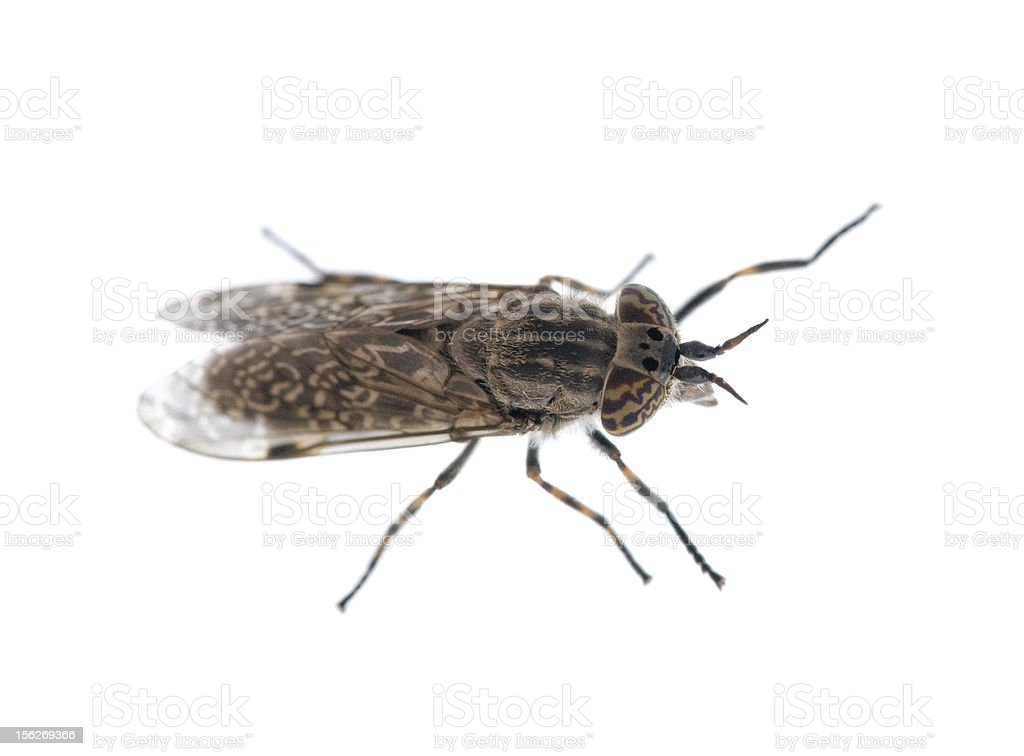 gadfly on white stock photo