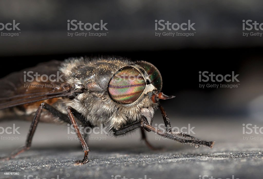 gadfly stock photo