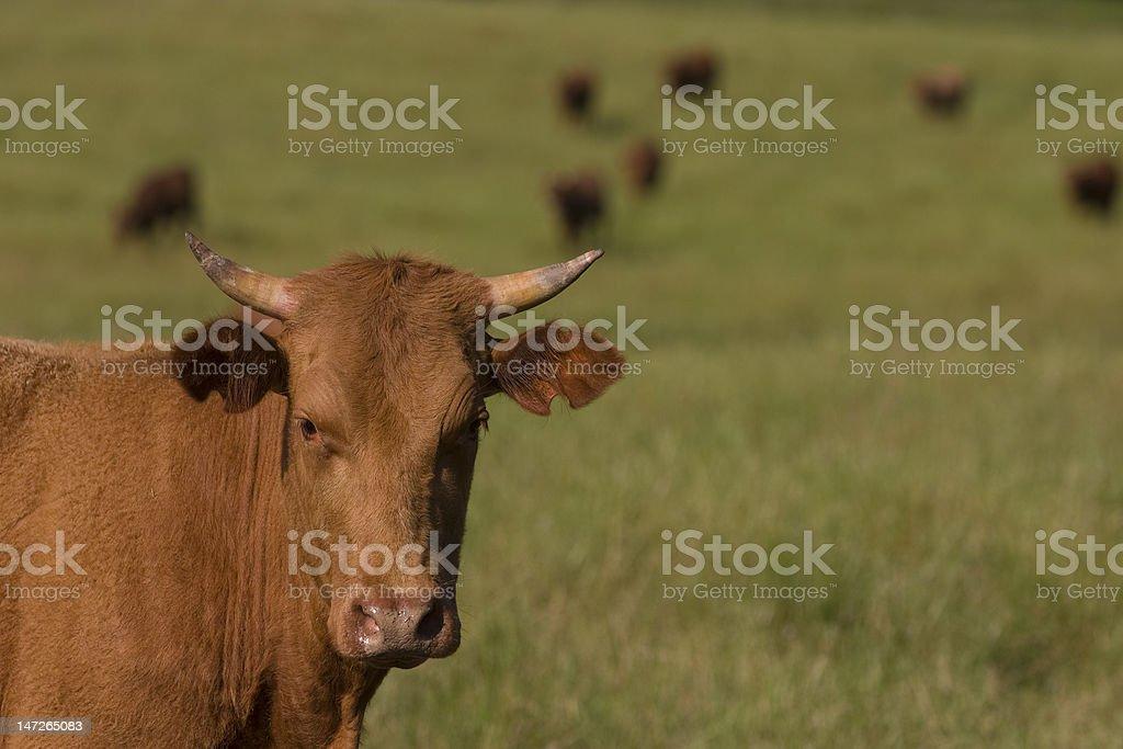 Gado no campo stock photo