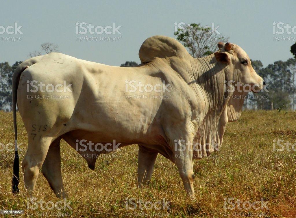 gado para abate stock photo