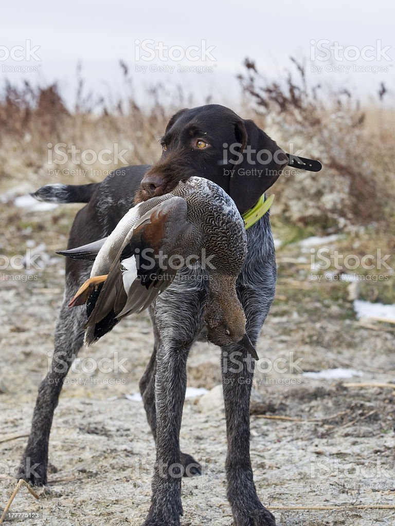 Gadwall duck and hunting dog royalty-free stock photo