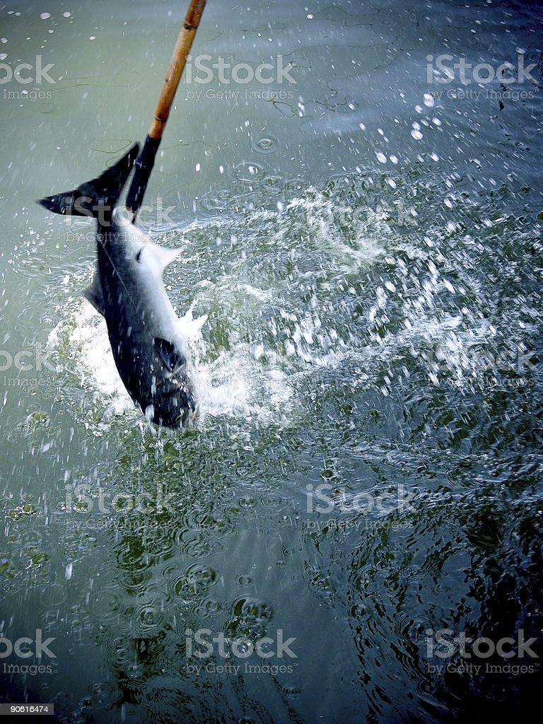 Gaffed Bluefish stock photo
