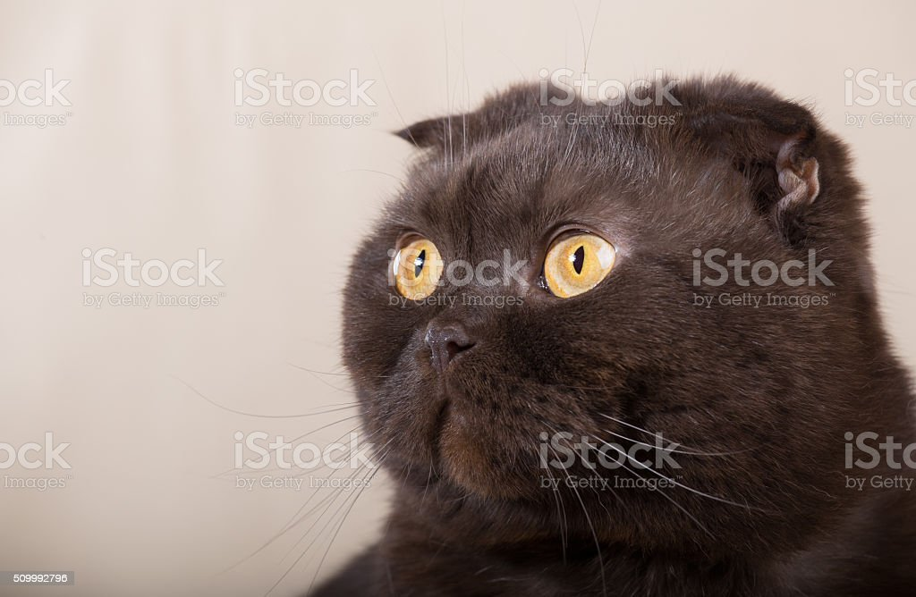 Gaga cat stock photo