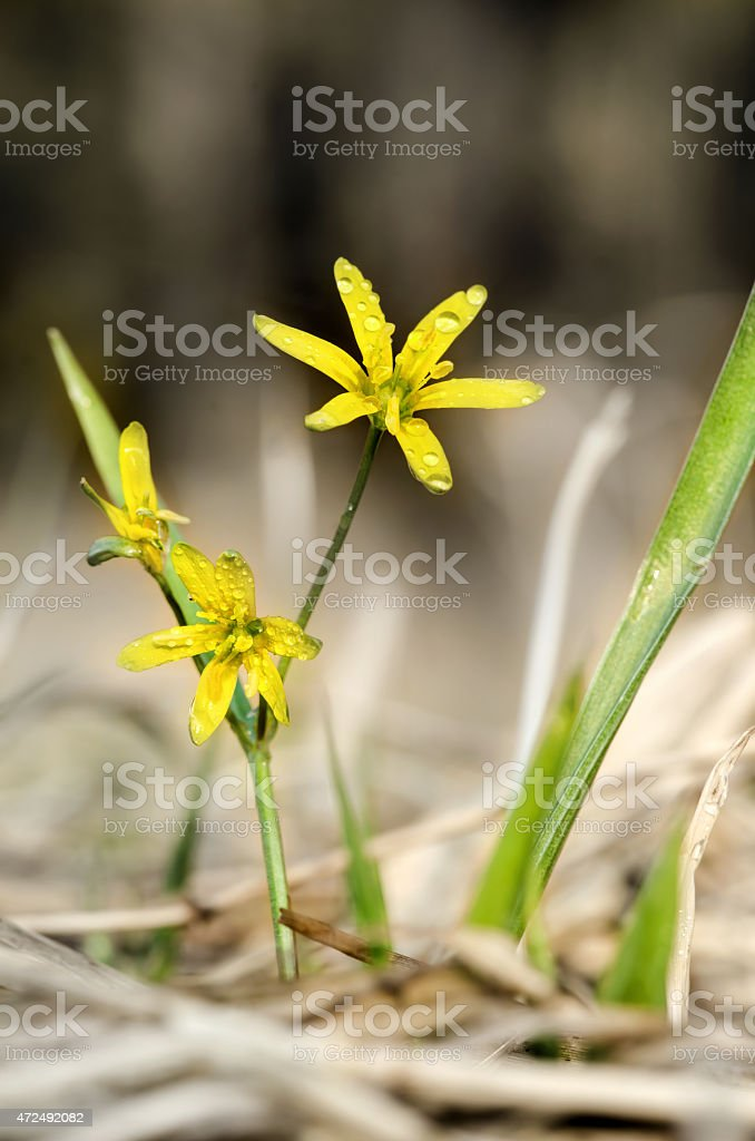 Gagea Lutea stock photo