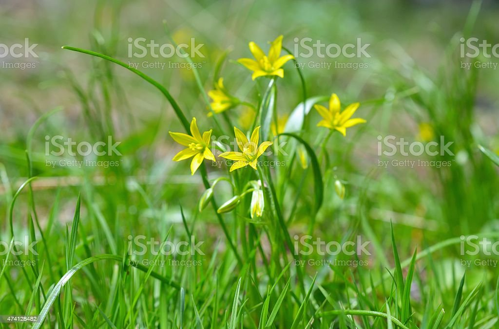 Gagea pratensis, called the Yellow Star of Bethlehem stock photo