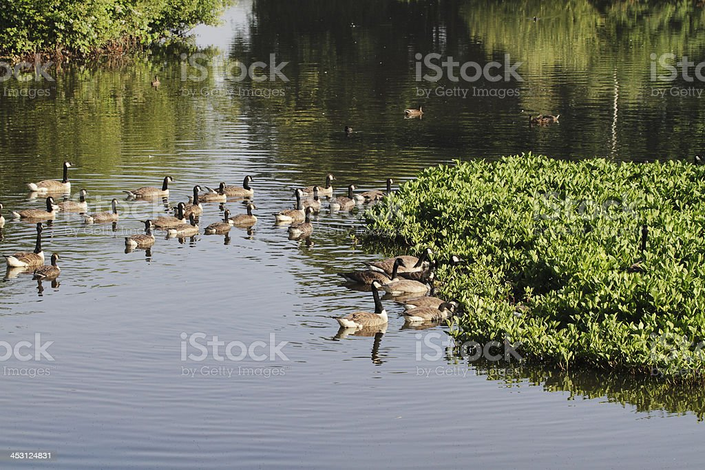 Gaggle of Canada geese afloat with bogbean pondweed royalty-free stock photo