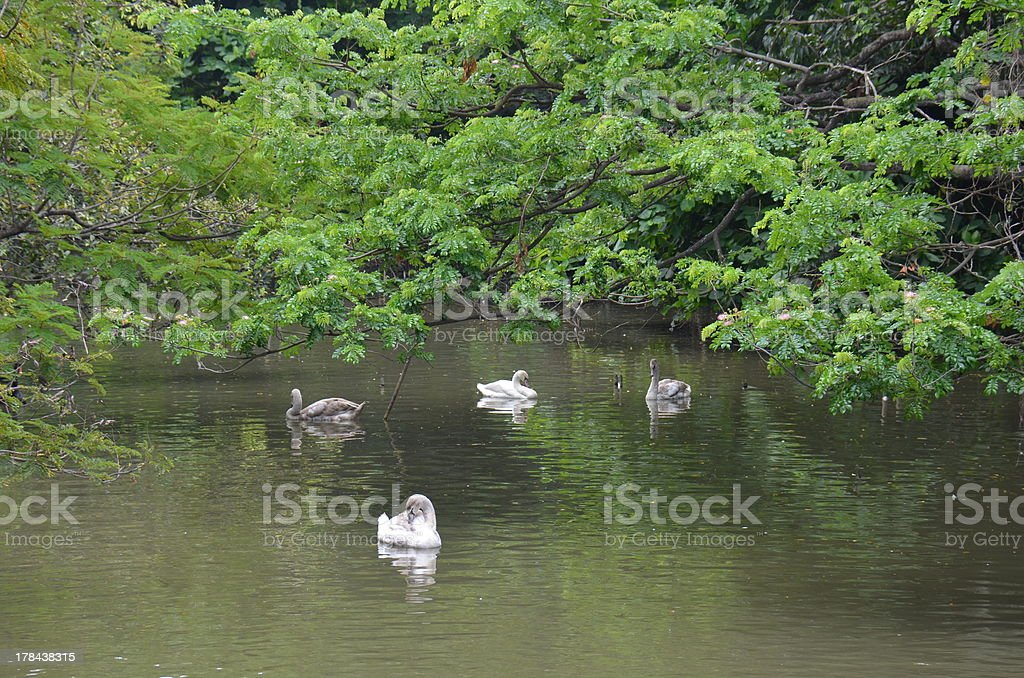 Gaggle of Domestic Geese Swimming royalty-free stock photo