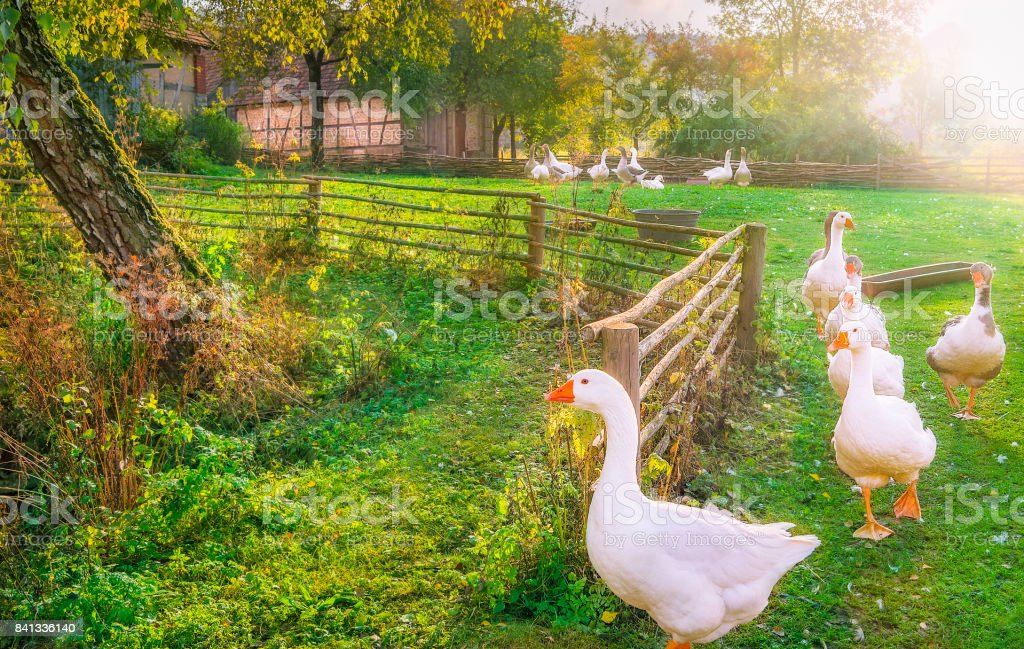 Gaggle of geese exiting a yard stock photo