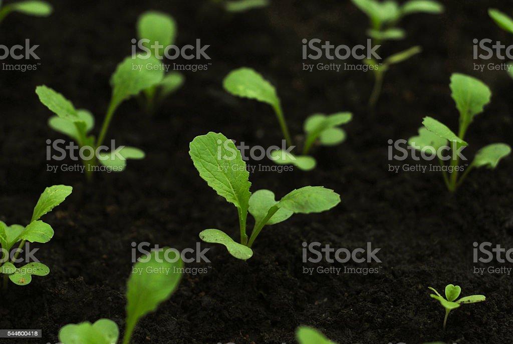 Gai choy seedlings foto de stock libre de derechos