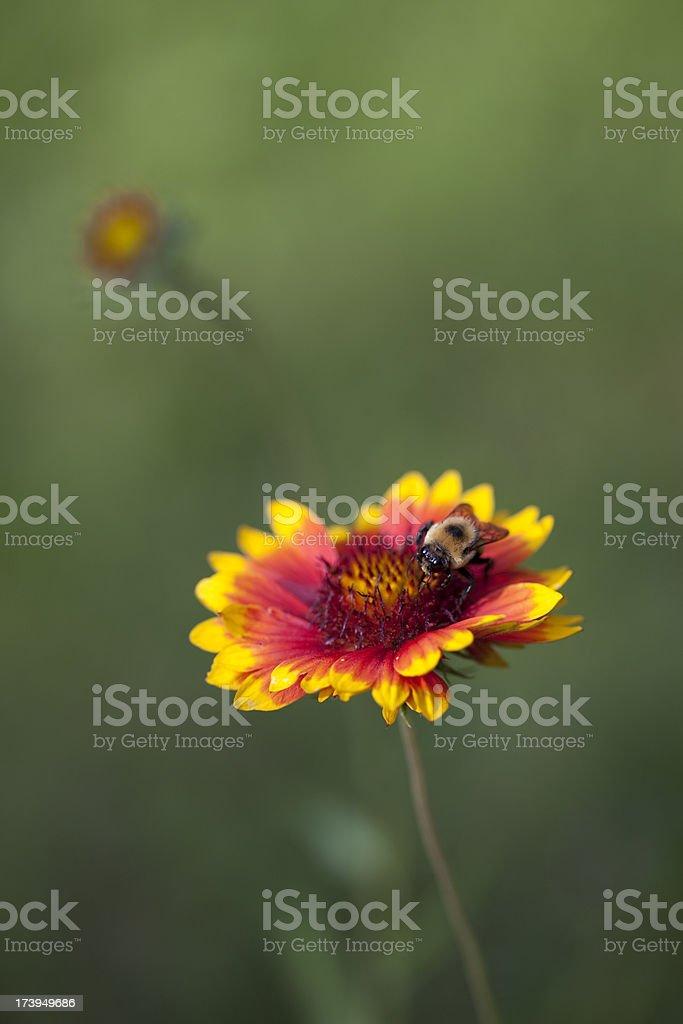 Gaillardia and Bee stock photo