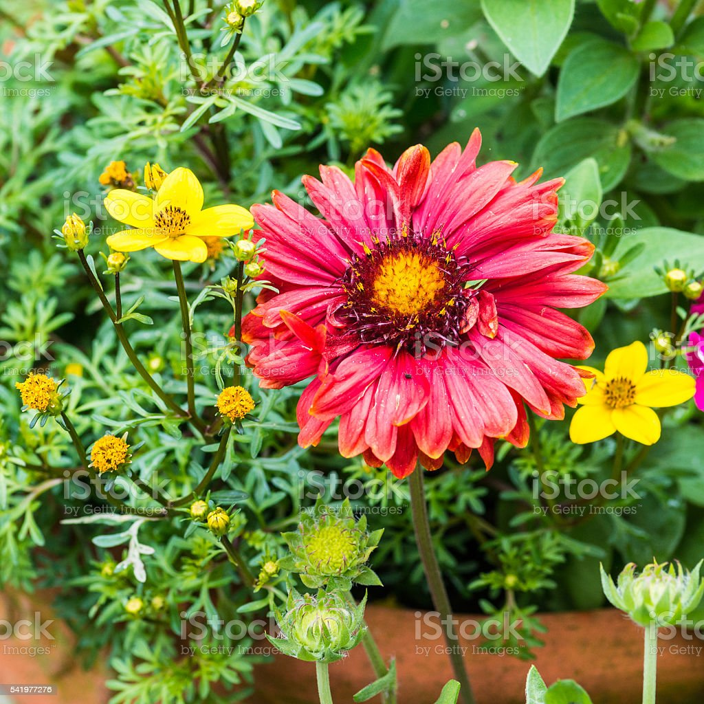 Gaillardia And Bidens stock photo